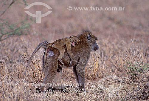 Babuíno verde com filhote (Papio anubis) - África