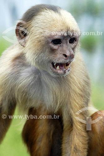 Macaco Cairara no Hotel Ariaú - Rio Negro - AM - Brasil  - Iranduba - Amazonas - Brasil