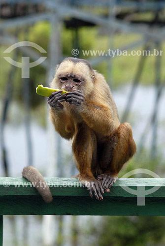 Macaco Cairara no Hoel Ariaú - Rio Negro - AM - Brasil  - Amazonas - Brasil