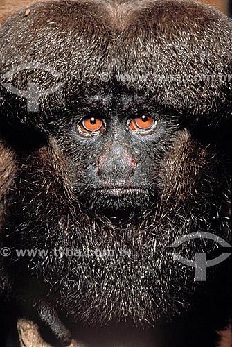 (Chiropotes satanas chiropotes) Cuxiú Marrom - fêmea -um dos primatas mais raros da Amazônia está ameaçado de extinção