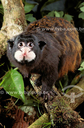 (Saguinus M. mystax) Macaco Sagüi-de-Boca-Branca - Brasil