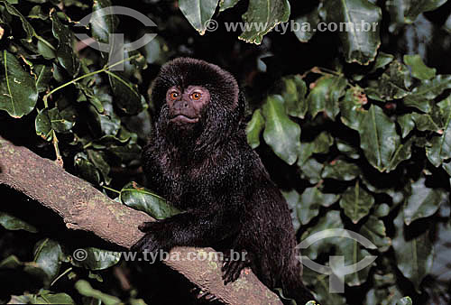 (Callimico goeldii) Macaco Sagüi-de-goeldi - Amazônia - Brazil