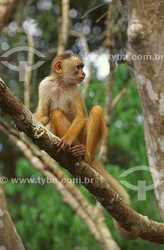 (Cebus albifrons) Macaco Caiarara - Amazônia - Brasil