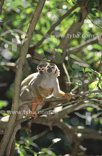 (Saimiri sciureus) Macaco-de-Cheiro ou Mico-de-Cheiro - Amazônia - Brasil