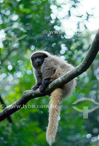 Assunto: (Callicebus personatus nigrifrons) Macaco-sauá / Local: Floresta Atlântica do Sul de Minas Gerais - Brasil / Data: 2010