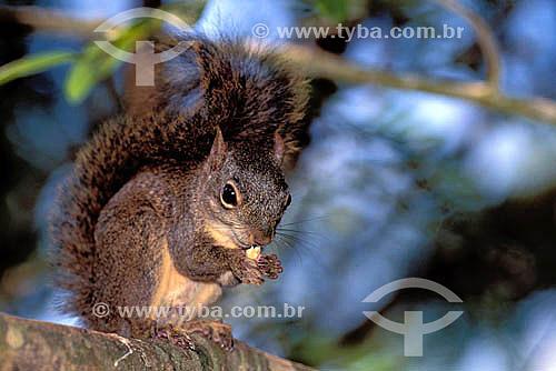 (Sciurus aestuans) Serelepe, Caxinguelê ou esquilo - Brasil