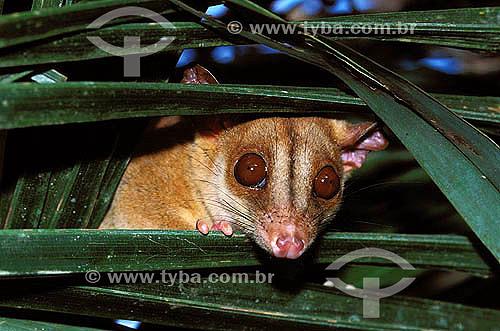 Cuíca , Mucura-chichica (Caluromys philander) - Floresta Amazônica - Pará - Brasil  - Pará - Brasil