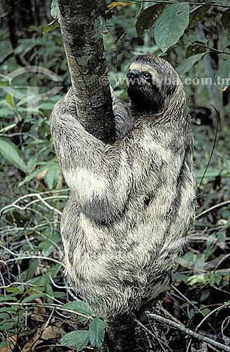 (Bradypus tridactylus) Bicho-Preguiça