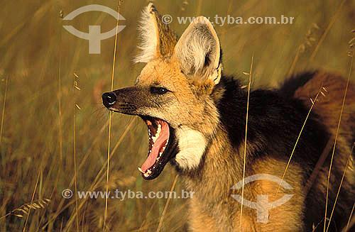 Lobo-guará (Chrysocyon brachyurus) bocejando - Cerrado -  Parque Nacional da Serra da Canastra - Minas Gerais - Brasil  - Minas Gerais - Brasil