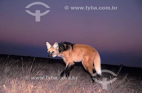 Lobo-guará (Chrysocyon brachyurus) ao pôr do sol - Cerrado - Parque Nacional da Serra da Canastra - Minas Gerais - Brasil - Data: 2001