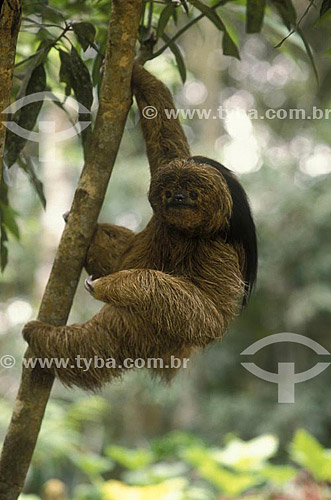 (Bradypus torquatus) Preguiça-de-Coleira - Mata Atlântica - BA - Brasil  foto digital  - Bahia - Brasil