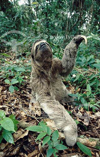 (Bradypus variegatus) - Bicho-Preguiça, preguiça-de-três-dedos, preguiça