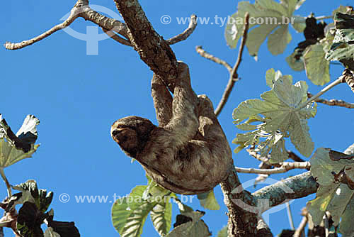 (Bradypus variegatus) - Bicho-Preguiça, Preguiça-de-três-dedos - Preguiça