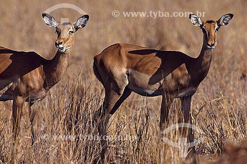 Impala (Aepyceros melampus) - África