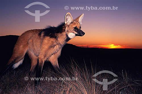 (Chrysocyon brachyurus) Lobo-Guará - Parque Nacional da serra da Canastra - sul de MG - Brasil  - Minas Gerais - Brasil