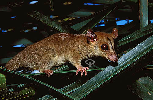 (Caluromys philander) Cuíca - Amazônia - PA - Brasil  - Pará - Brasil