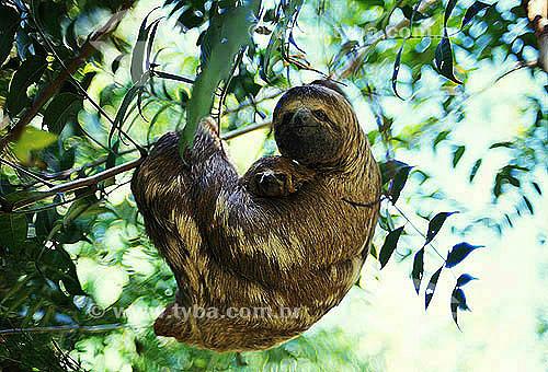 Bicho-preguiça , Preguiça com filhote (Bradypus variegatus) - Reserva de Desenvolvimento Sustentável Mamirauá - Amazonas - Brasil  - Tefé - Amazonas - Brasil