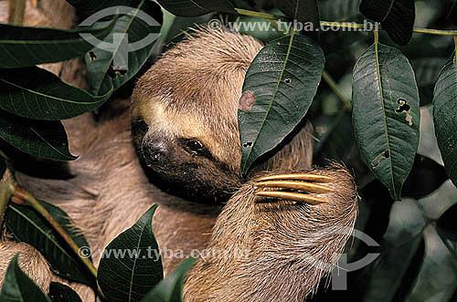 Bicho-preguiça (Bradypus variegatus) na Reserva de Desenvolvimento Sustentável Mamirauá - Amazonas  - Tefé - Amazonas - Brasil