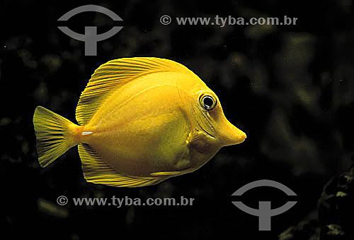 (Zebrasoma flavescens) Yellow-Tang Peixe / Data: 1990
