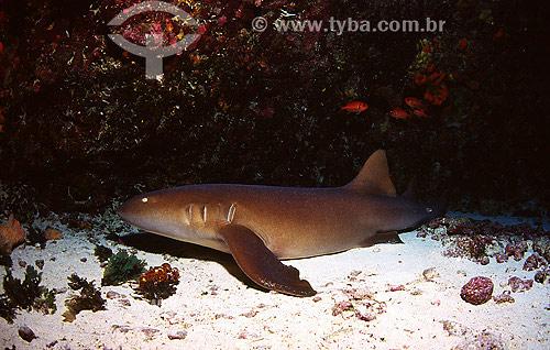 Tubarão-lixa (Ginglymostoma cirratum) - Fernando de Noronha - PE - Brasil  - Fernando de Noronha - Pernambuco - Brasil