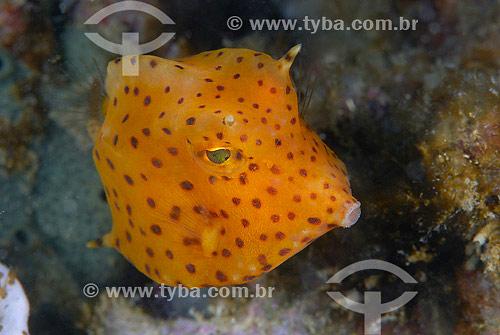 Peixe-cofre-de-chifre juvenil (Acanthostracion quadricornis) - Cabo Frio - RJ - RJ - Brasil - 2007  - Cabo Frio - Rio de Janeiro - Brasil