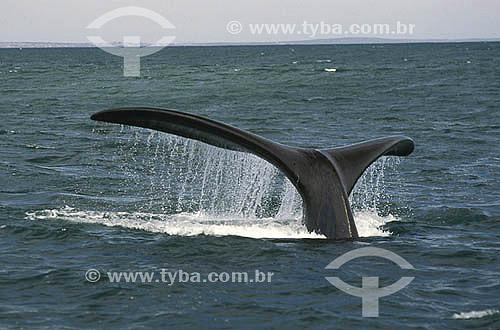 Cauda de baleia na costa da África do Sul