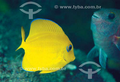Cirurgião-azul ou Barbeiro Juvenil (Acanthurus coeruleus) - Brasil - dezembro 2006