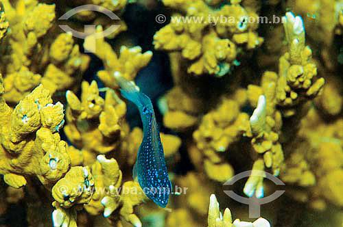 Maria-mole Juvenil (Stegastes fuscus) - espécie ocorrente em todo o litoral brasileiro - Brasil - dezembro 2006