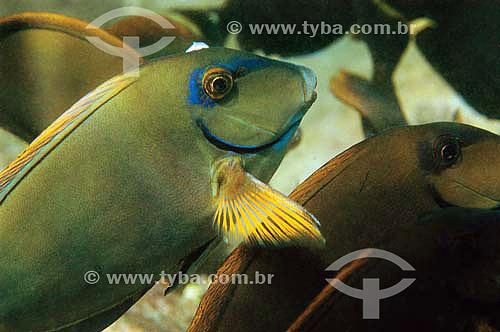 Barbeiro (Acanthurus bahianus) - espécie ocorrente em todo o litoral brasileiro - Brasil - dezembro 2006                       - Bahia - Brasil