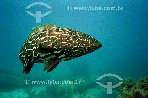 Badejo-quadrado (Mycteroperca bonaci) - espécie ocorrente no nordeste e sudeste do litoral brasileiro  espécie ocorrente no nordeste e sudeste do litoral brasileiro - Brasil
