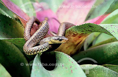 (Chironius Carinatus) Cobra Cipó - Amazônia - Brasil