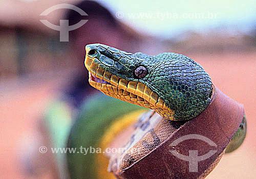 (Corallus caninus) Cobra-Papagaio -