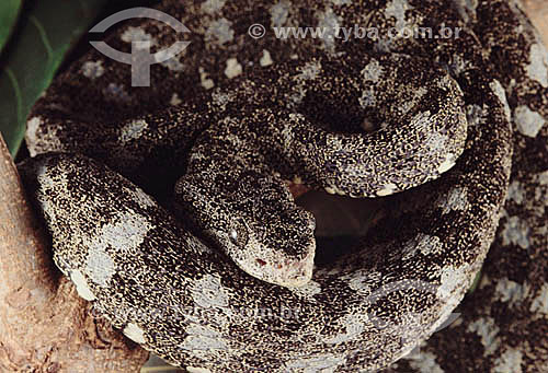 (Bothrops jararaca) Cobra Jararaca - Amazônia - Brasil