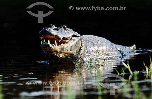 (Caiman crocodylus) (Fam. Alligatoridae) - Jacaré - PARNA do Pantanal Matogrossense - MT - Brasil  A área é Patrimônio Mundial pela UNESCO desde 2000.  - Mato Grosso - Brasil