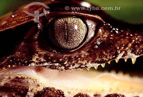 (Paleosuchus palpelrous)  Filhote de Jacaré Coroa ou Paguá - Amazônia - Brasil
