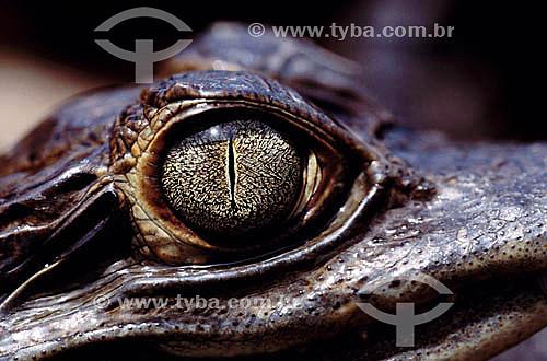 (Caiman crocodylus) - Jacaré-tinga - PARNA do Pantanal Matogrossense - MT - Brasil  A área é Patrimônio Mundial pela UNESCO desde 2000.  - Mato Grosso - Brasil