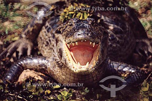 (Caiman crocodylus yacare) Jacaré - PARNA do Pantanal Matogrossense - MT - Brasil  A área é Patrimônio Mundial pela UNESCO desde 2000.  - Mato Grosso - Brasil