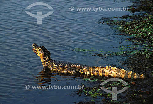 (Caiman crocodilus yacare) Jacaré-do-pantanal - Jacaretinga - PARNA do Pantanal Matogrossense - MT - Brasil  A área é Patrimônio Mundial pela UNESCO desde 2000.  - Mato Grosso - Brasil
