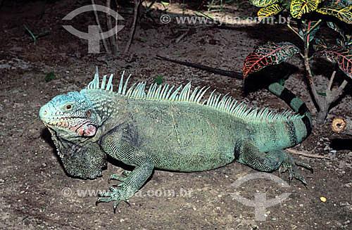 (Iguana Iguana) Iguana - Amazônia - Brasil / Data: 2006