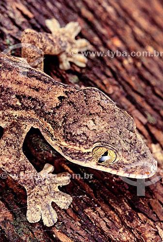 (Thecadactylus rapicauda) - Lagarto Noturno - Amazônia - Brasil