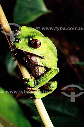(Phylomedusa biocolor) - Perereca - Amazônia - Brasil