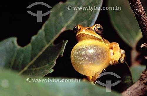 (Hyla prasina) Perereca - Exemplar macho com seu saco volcal inflado, cantando para atrair uma fêmea para reprodução - Mata Atlântica - Brasil