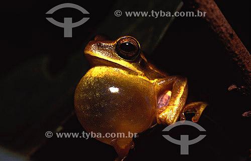 (Hyla prasina) Rã - Exemplar macho com seu saco volcal inflado, cantando para atrair uma fêmea para reprodução - Mata Atlântica - Brasil
