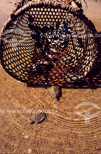 Tartarugas saindo da cesta para o rio - Amazônia - Brasil