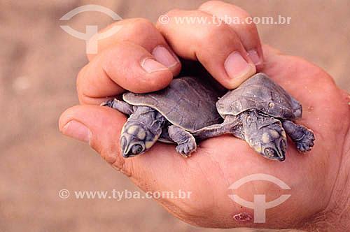 Mão segurando dois filhotes de tartaruga - Brasil