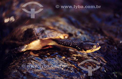 (Hydromedusa maximiliani) Pequeno Cágado - Brasil
