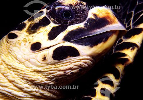 Tartaruga de pente (Eretmochelys imbricata) - Guarapari - ES - Brasil  - Guarapari - Espírito Santo - Brasil