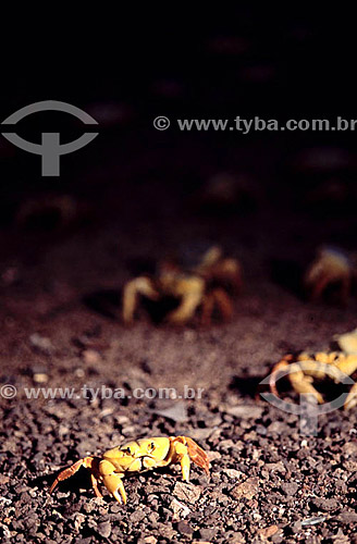 Caranguejos - Ilha da Trindade - Litoral do Espírito Santo - Brasil  Ponto mais oriental do Brasil à 1/3 do caminho para África.  - Vitória - Espírito Santo - Brasil