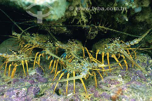 Lagostas (Panulirus argus) - espécie ocorrente em todo o litoral brasileiro - Brasil - dezembro 2006]