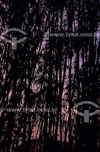 Efeito visual: bambus no Parque da Catacumba - Lagoa - Rio de Janeiro - RJ - Brasil  - Rio de Janeiro - Rio de Janeiro - Brasil